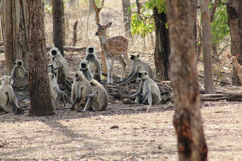 monkeys at pench national park