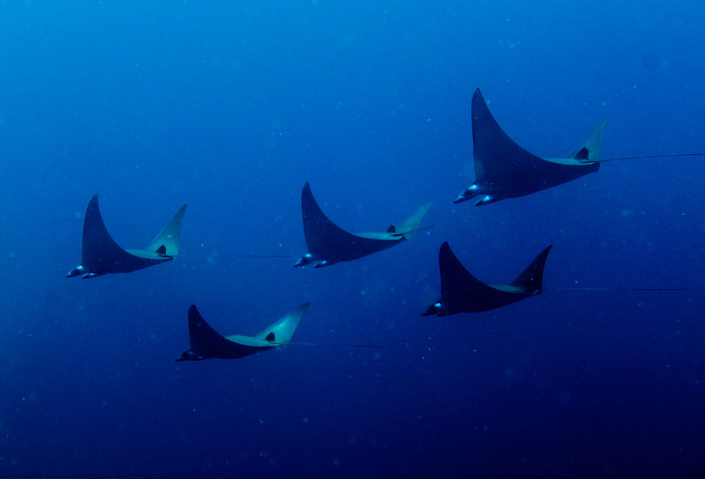 "Manta Rays | Image Credit: <a href=""https://www.flickr.com/people/65463715@N02"">Leonard Clifford</a> from Sydney, Australia, <a href=""https://commons.wikimedia.org/wiki/File:Pigmy_Manta_Rays.jpg"">Pigmy Manta Rays</a>, <a href=""https://creativecommons.org/licenses/by/2.0/legalcode"" rel=""license"">CC BY 2.0</a>"