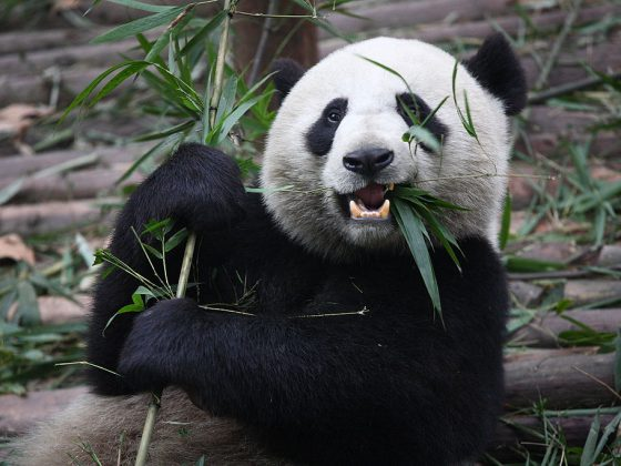 Giant Pandas in China | Image Credit: Chen Wu from Shanghai, China, Giant Panda Eating, CC BY 2.0