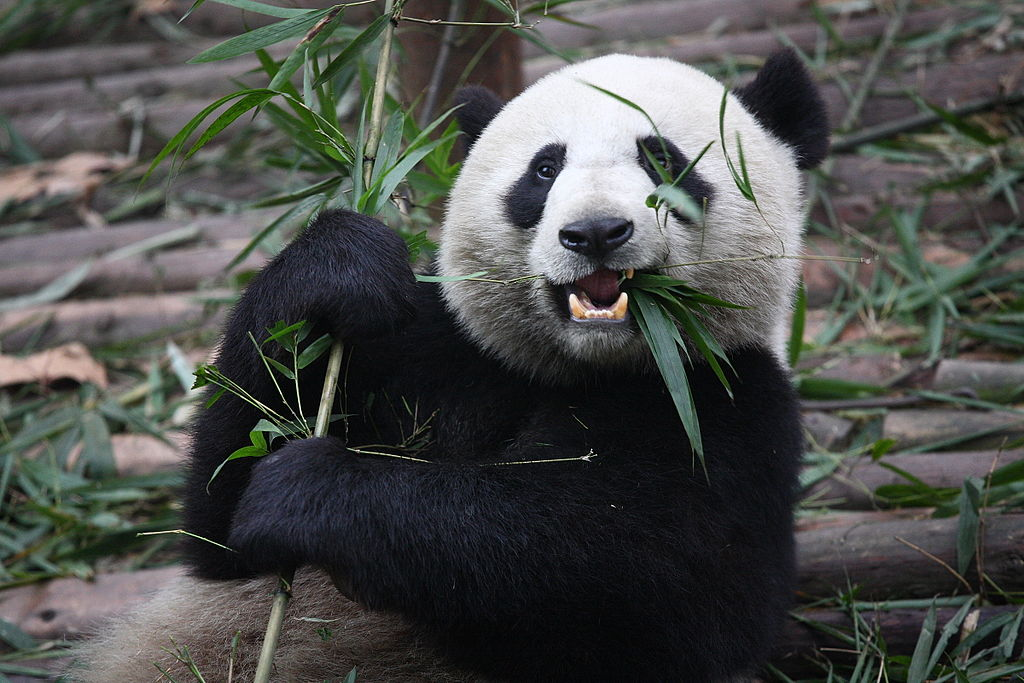 """Giant Pandas in China 