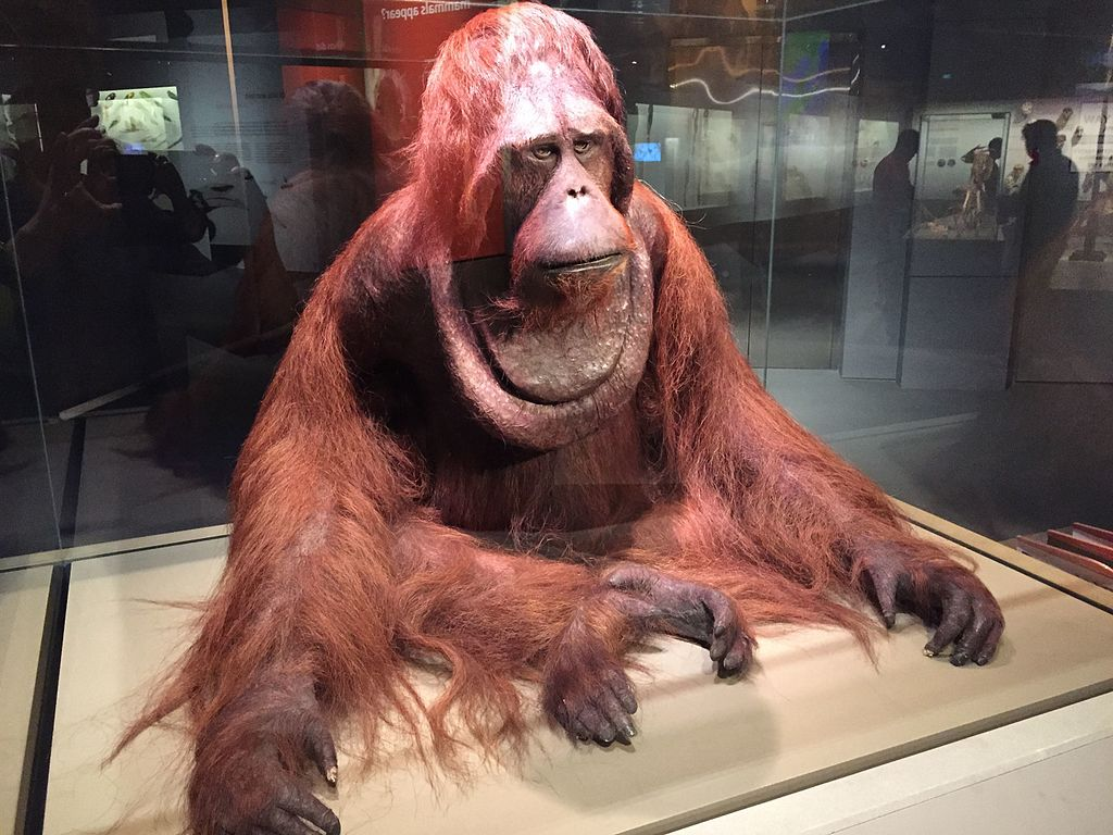 "Lee Kong Chian Natural History Museum | Image Credit: <a href=""https://commons.wikimedia.org/wiki/User:Jacklee"">Jacklee</a>, <a href=""https://commons.wikimedia.org/wiki/File:Orangutan_(Pongo_sp,_dominant_male),_Lee_Kong_Chian_Natural_History_Museum,_Singapore_-_20150808.jpg"">Orangutan (Pongo sp, dominant male), Lee Kong Chian Natural History Museum, Singapore - 20150808</a>, <a href=""https://creativecommons.org/licenses/by-sa/4.0/legalcode"" rel=""license"">CC BY-SA 4.0</a>"